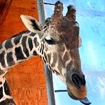 Ozzie the Painting Giraffe's 7th Birthday at Lion Habitat Ranch