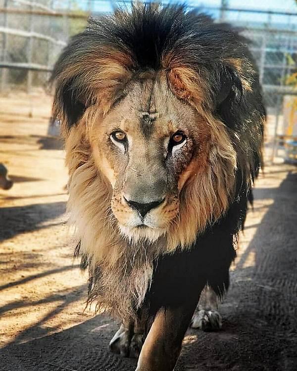 Lion Habitat Ranch
