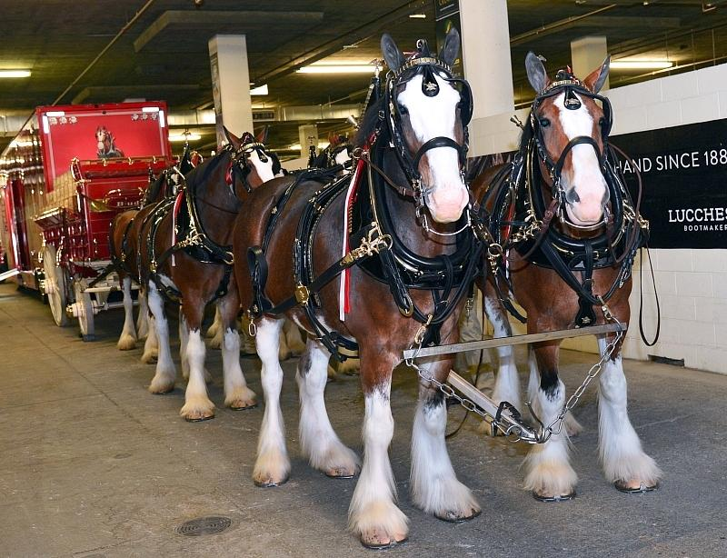 The world-famous Budweiser Clydesdales