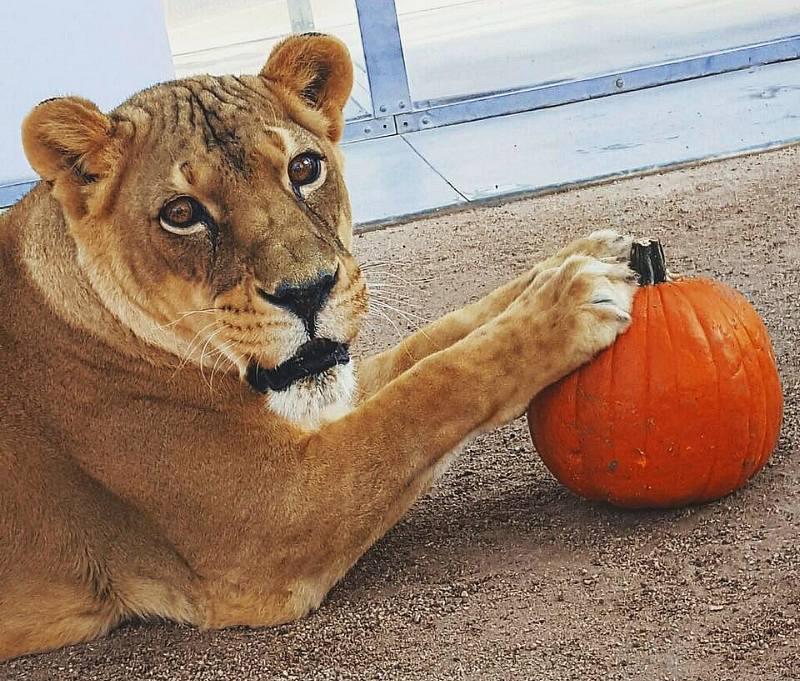 Lion with Pumpkin